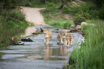 A pride of lions, Panthera leo, walk through the shallow water of a river, walking towards camera,