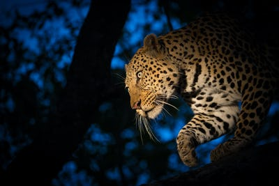A leopard, Panthera pardus, climbing down a tree at night time, lit up by a spotlight, looking away