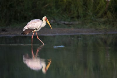 A yellow-billed stork, Mycteria ibis, walks through water showing its reflection, leg rasied, side
