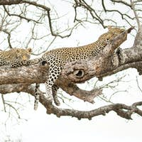 A leopard, Panthera pardus, cub and its mother lie on a branch of a marula tree, Sclerocarya birrea,