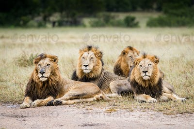 Three male lions, Panthera leo, lie on the ground in a line in a clearing, looking away, wet fur