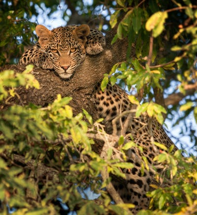 A leopard, Panthera pardus, lies in a tree, front paws flank hits head, alert, leaves in foreground