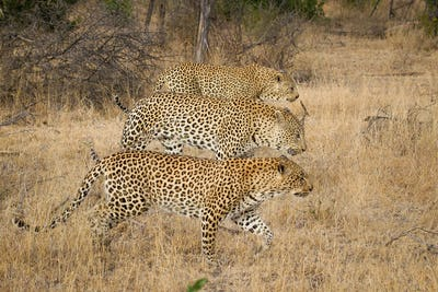Three leopards, Panthera pardus, walk simaltanously together, in parrallel, looking away, brown