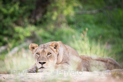 A lioness, Panthera leo, lies on sand, head resting on feet, alert, greenery in background
