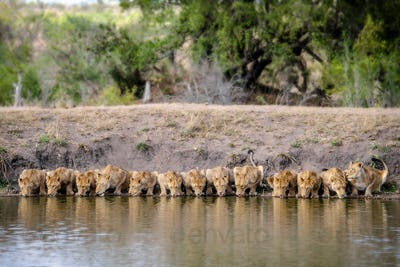 A pride of lions, Panthera leo, lying down and drinks water, lapping water, facing camera, river