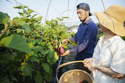Japanese man wearing cap and woman wearing hat standing in vegetable field, picking fresh