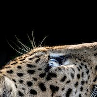 A side-profile of a leopard's head, Panthera pardus, looking up into the light, glow on eyes, coat