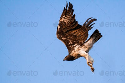 Martial eagle, Polemaetus bellicosus, low angle view in mid light, under delly and legs white, wings