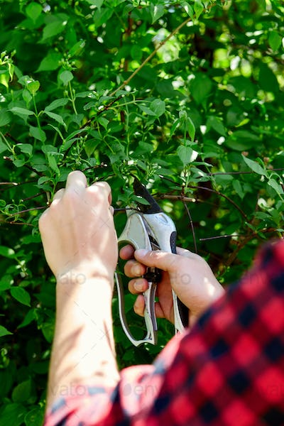 Man hands cuts branches of bushes with hand pruning scissors.
