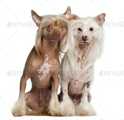 Chinese Crested Dogs, 11 and 16 months old, sitting against white background