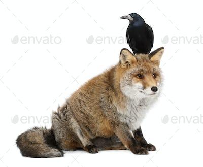 Old Red fox, Vulpes vulpes, 15 years old, and Rook, Corvus frugilegus, 3 years old