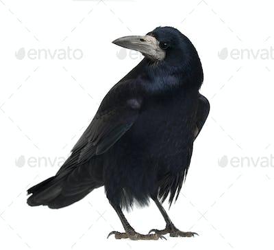 Rook, Corvus frugilegus, 3 years old, standing against white background