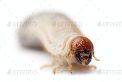 Larva of mealworm, Tenebrio molitor, against white background