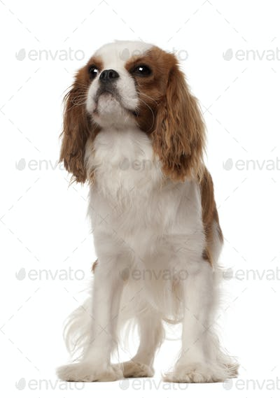 Cavalier King Charles Spaniel, 10 months old, standing against white background