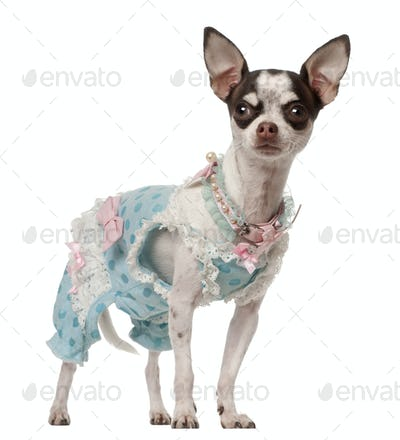 Chihuahua, 10 months old, standing against white background