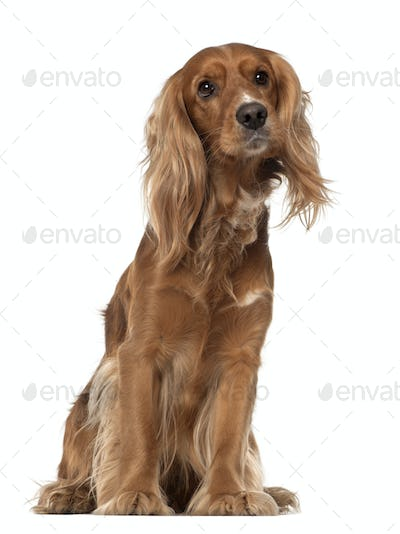 English Cocker Spaniel, 2 years old, sitting against white background