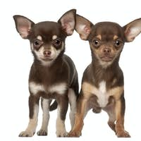 Chihuahua puppy, 6 months and 3 months old, standing against white background