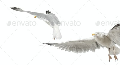 European Herring Gulls, Larus argentatus, 4 years old, flying against white background