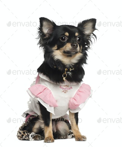 Chihuahua, 10 months old, sitting against white background