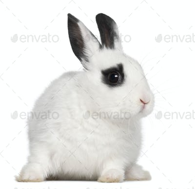 Young Dalmatian rabbit, 3 months old, against white background