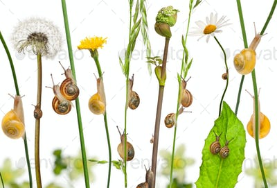 Pastoral composition of flowers and Garden snails, Helix aspersa, and Mediterranean snails