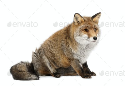 Old Red fox, Vulpes vulpes, 15 years old, sitting against white background