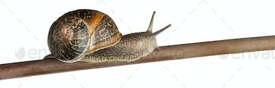 Garden Snail, Helix aspersa, on branch against white background