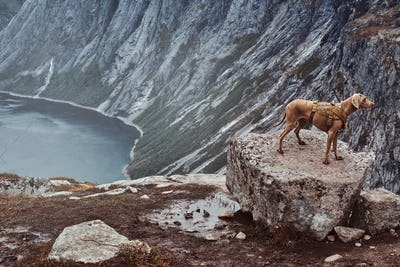 Cute brown dog standing on top of the Norwegian fjord.