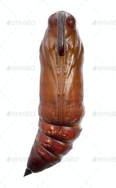 Pupa of Convolvulus Hawk-moth or Sweetpotato Hornworm, Agrius convolvuli against white background