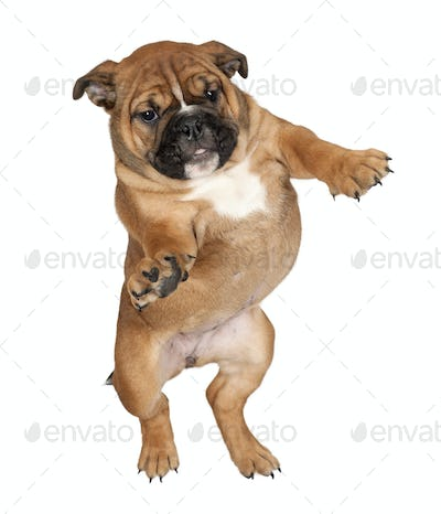 Flying Boxer puppy against white background