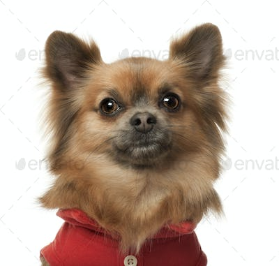 Chihuahua, 3 years old, against white background