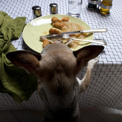 Chihuahua standing on hind legs to look at leftover meal on dinner table
