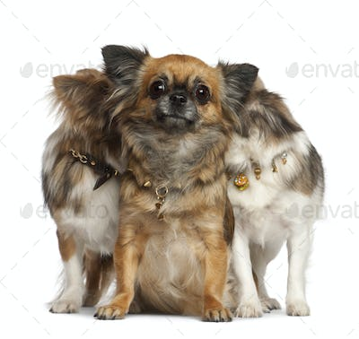 Chihuahuas with two hiding behind, sitting against white background