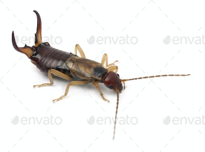 Common earwig or European earwig, Forficula auricularia against white background