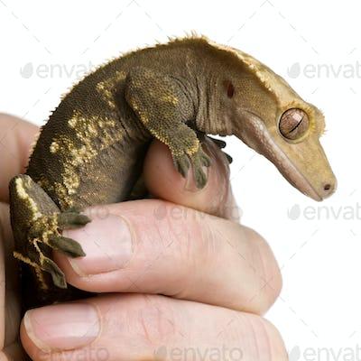 New Caledonian Crested Gecko, Rhacodactylus ciliatus, climbing on hand against white background