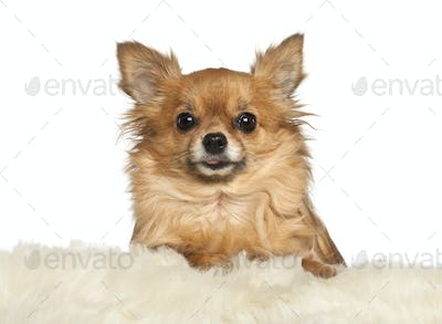 Chihuahua leaning on fur cushion against white background