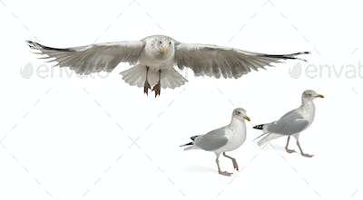 European Herring Gulls, Larus argentatus, 4 years old, walking against white background