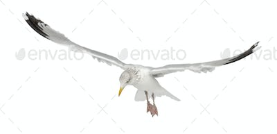 European Herring Gull, Larus argentatus, 4 years old, flying against white background
