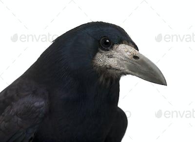 Rook, Corvus frugilegus, 3 years old, against white background
