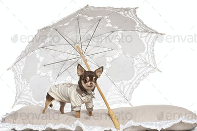 Chihuahua standing under parasol against white background