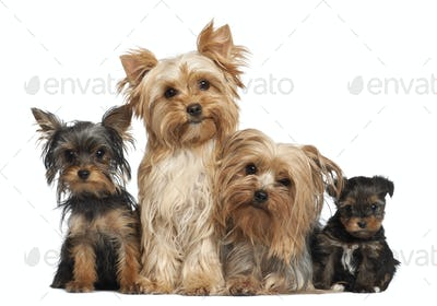 Yorkshire Terriers sitting against white background