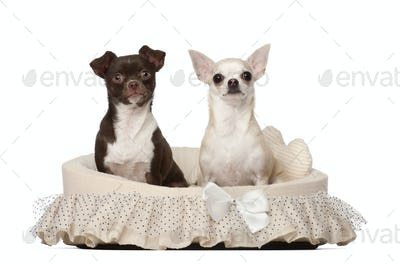 Chihuahuas, 2 and 4 years old, sitting in dog basket against white background