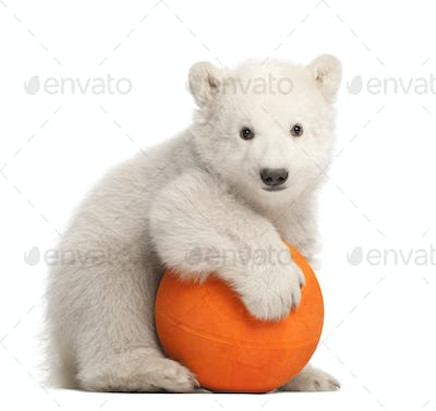 Polar bear cub, Ursus maritimus, 3 months old, playing with orange ball against white background