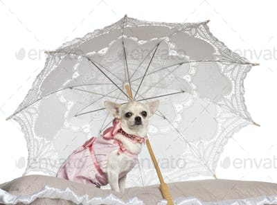 Chihuahua, 1.5 years old, sitting under parasol against white background