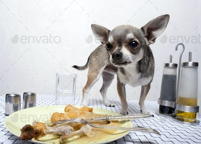 Chihuahua standing by food on dinner table