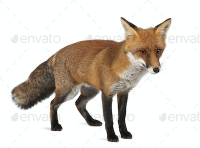 Red fox, Vulpes vulpes, 4 years old, standing against white background