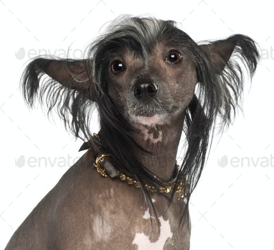 Chinese Crested Dog, 1 year old, sitting against white background