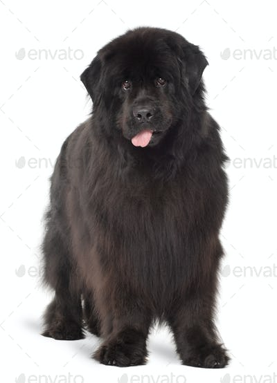 Newfoundland, 4 years old, standing against white background