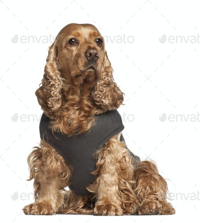 English cocker spaniel, 6 years old, sitting against white background