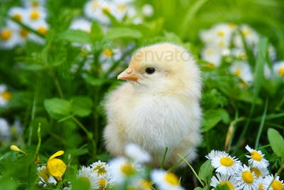Little chicken on green grass with daisies